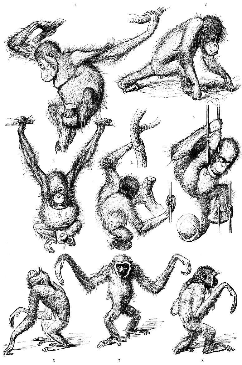 Орангутанг (1-5) Гиббон (6-8)
