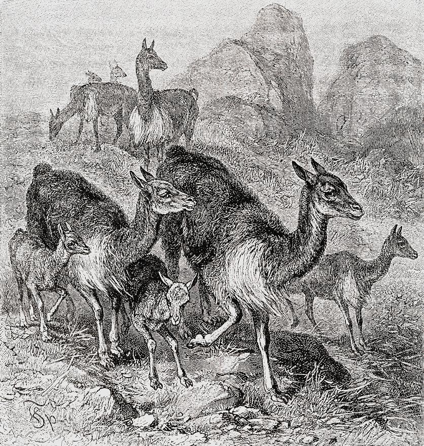 Викунья (Vicugna vicugna)