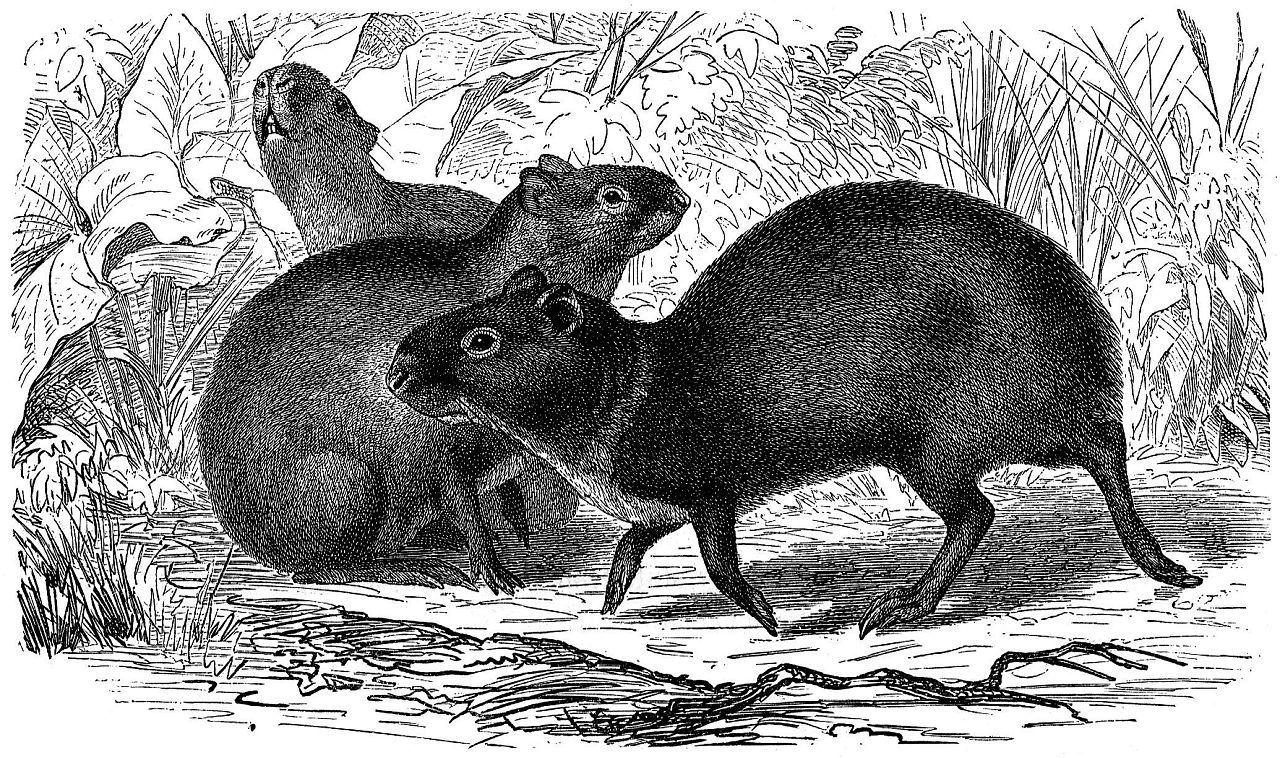 Бразильский агути, или золотой заяц (Dasyprocta agouti)