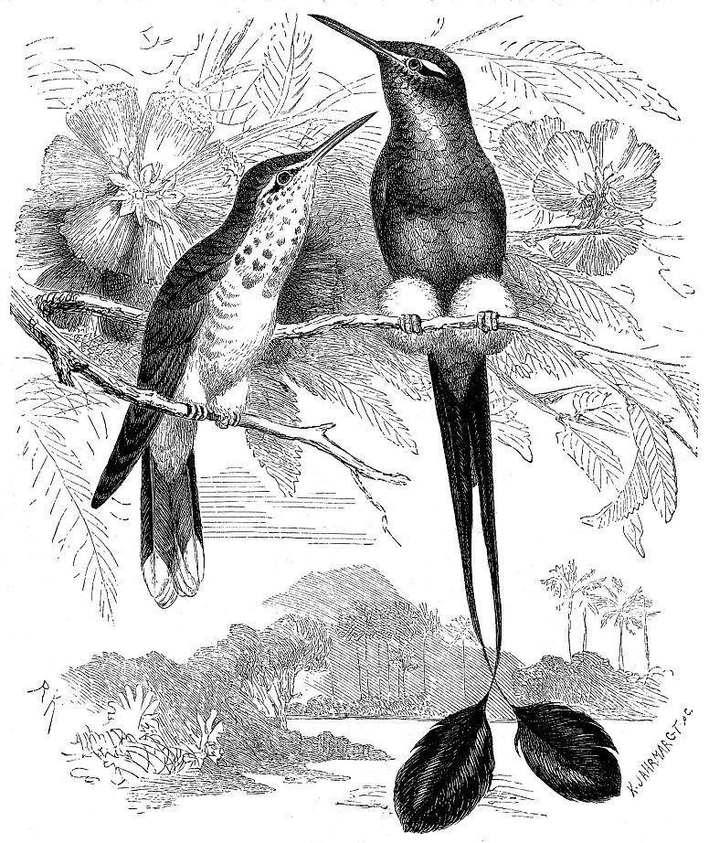 Знаменщик Ундервида (Ocreatus underwoodi)