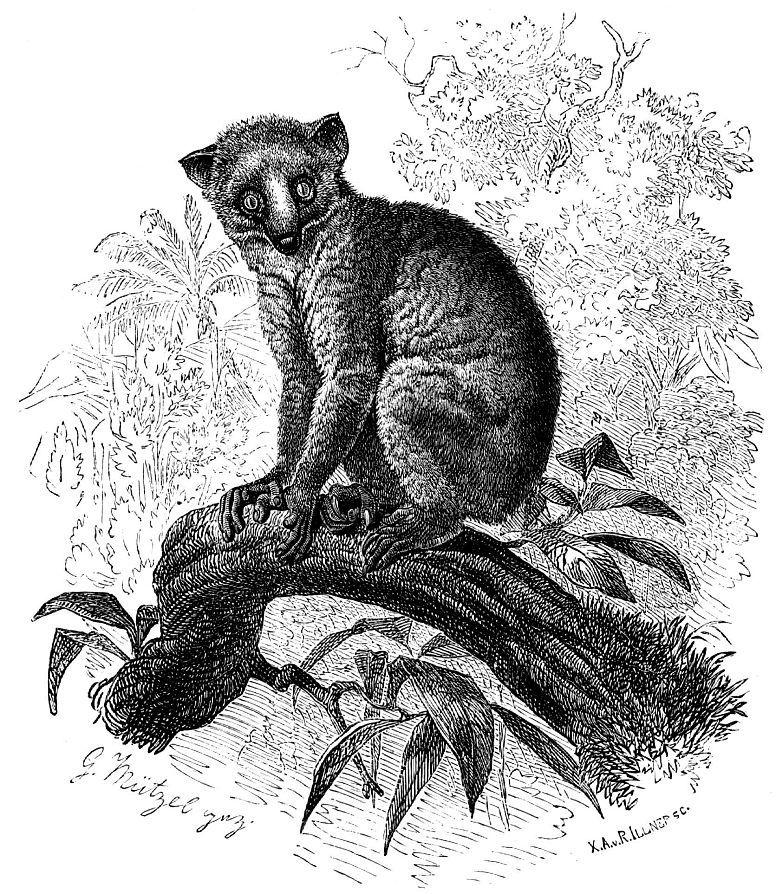 Калабарский потто, или медвежий маки (Arctocebus calabarensis)