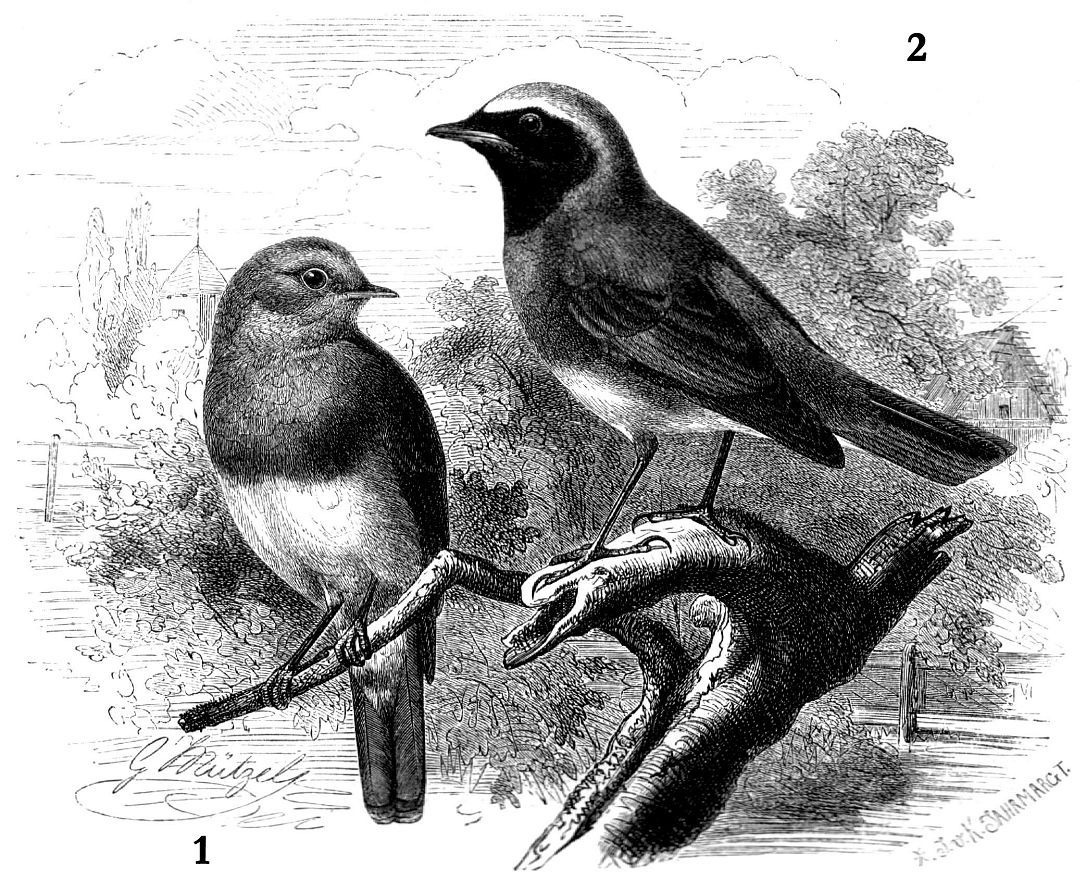 1 - Зарянка (Erithacus ntbecula) 2 - Обыкновенная горихвостка (Phoenicurus phoenicurus)