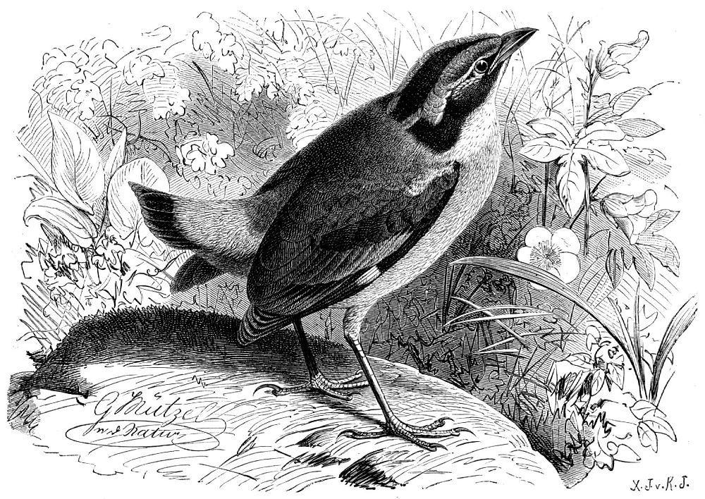Сииекрылая питma (Pitta brachyura)