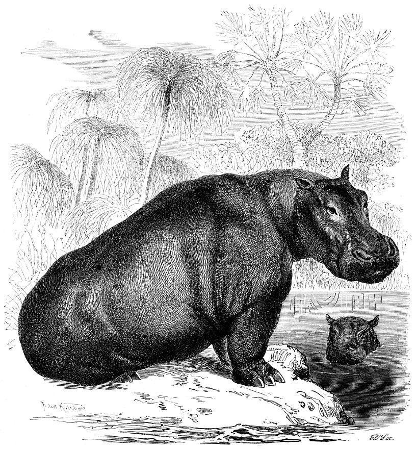 Бегемот (Hippopotamus amphibius)