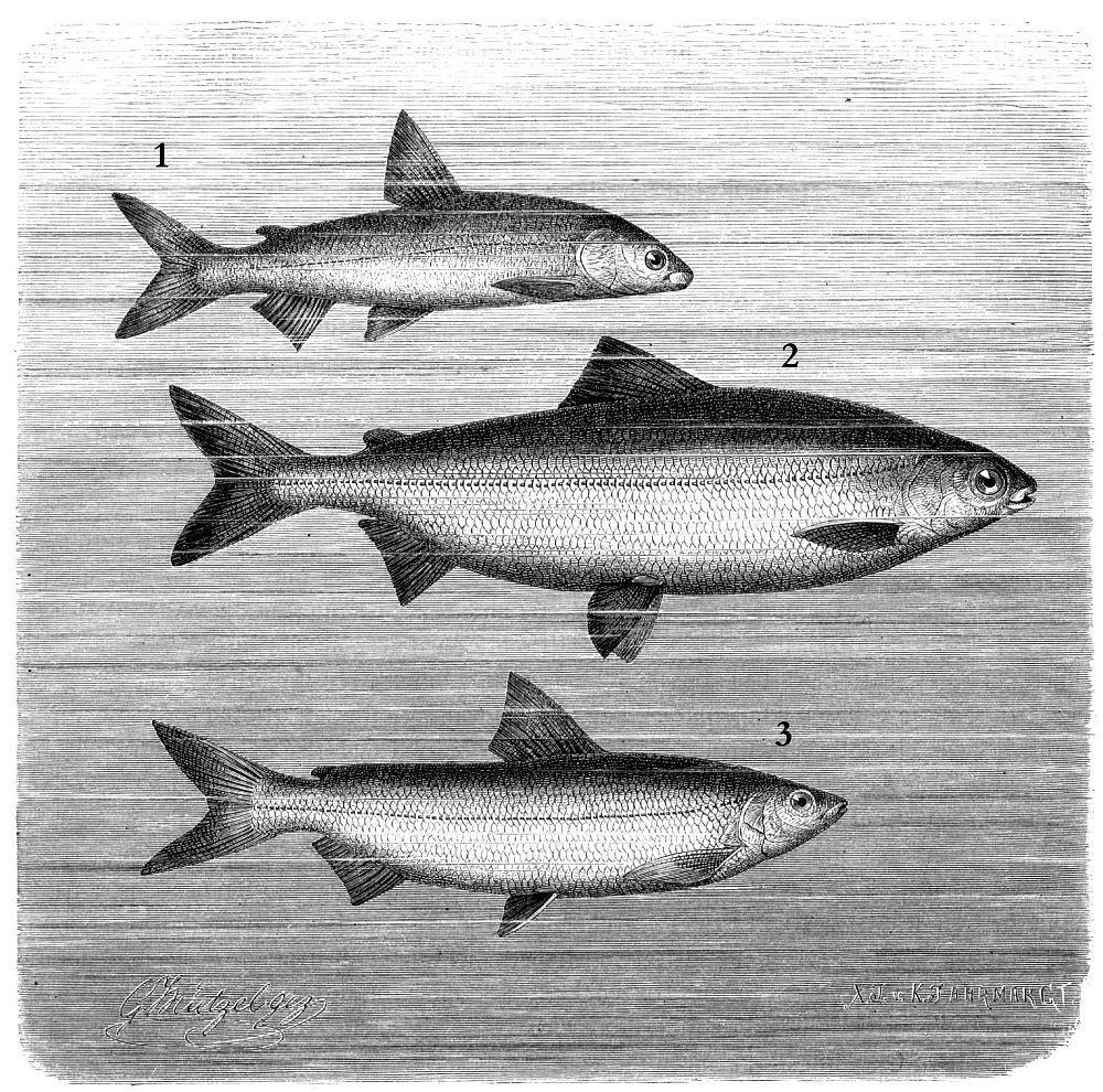 1 - Кильх (Coregonus hiemalis) 2 - Западный сиг (Coregonus wartmanni) 3 - Сиг-лудога (Coregonus lavaretus)