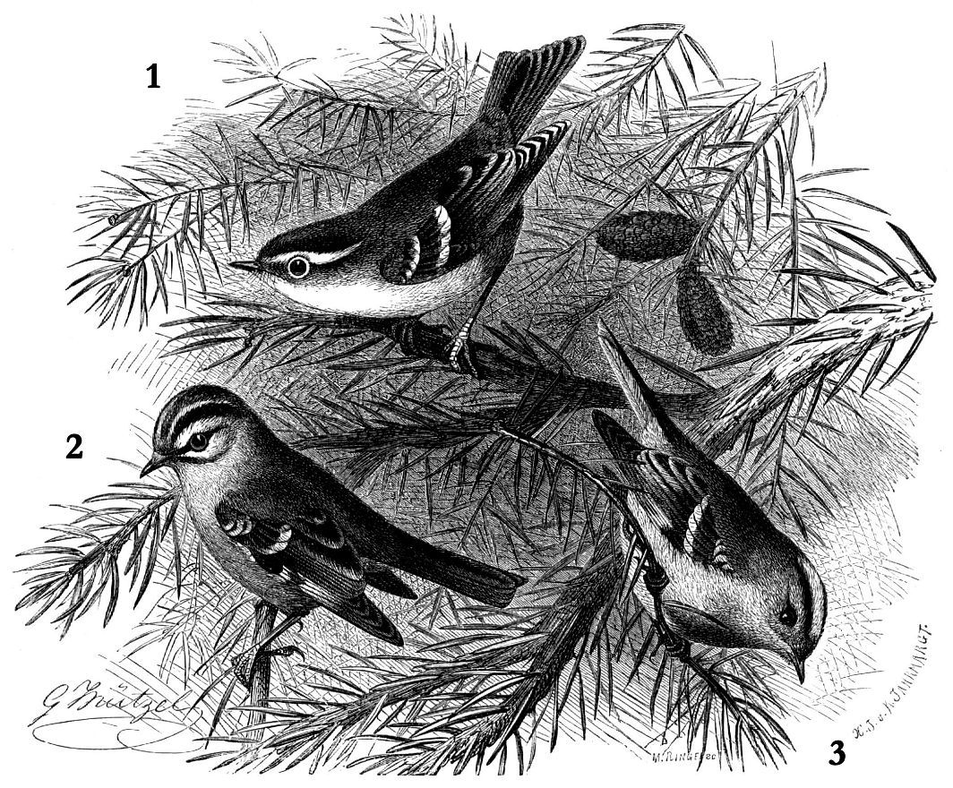 1 - Пеночка-зарничка (Phylloscopus inornatus) 2 - Красноголовый королек (Regulus ignieapillns) 3 - Желтоголовый королек (Regulus regulus)