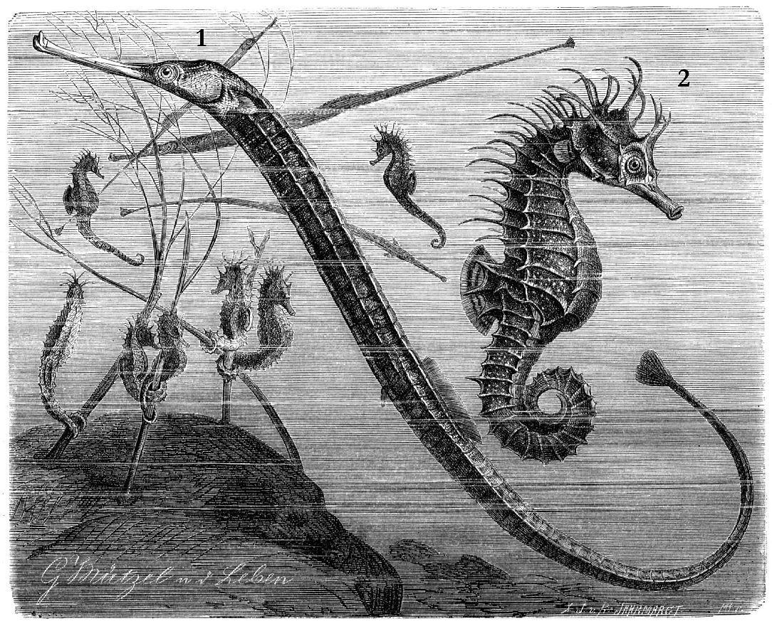 1 - Обыкновенная морская игла (Syngnathus acus) 2 - Европейский коротконосый морской конек, или морская гусеница (Hippocampus hippocampus)