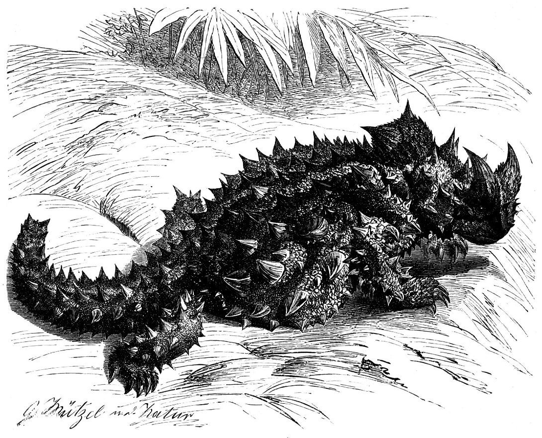Молох (Moloch horridus)