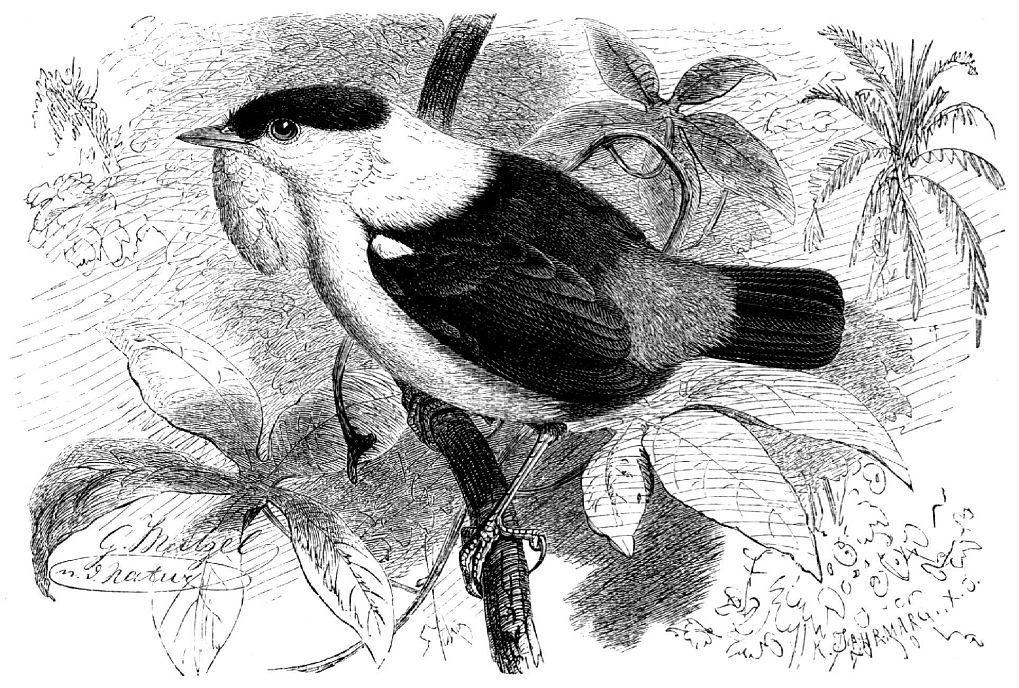 Белобородый короткокрылый манакин (Manacus manacus)