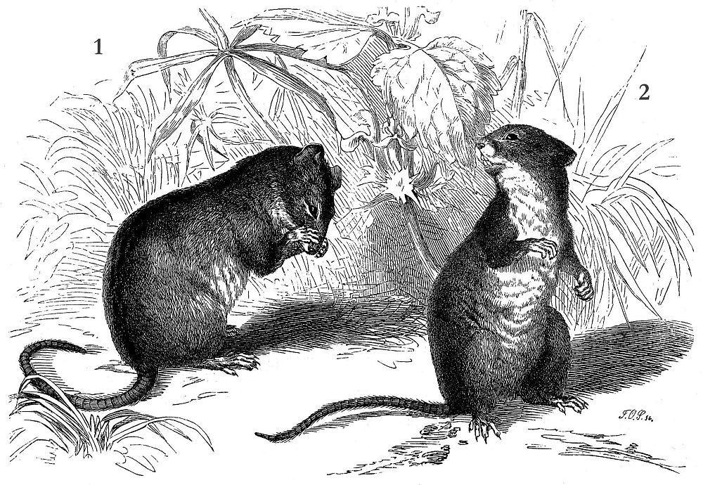 1. Полевая мышь (Apodemus agrarhts) 2. Лесная мышь (Syivaemus sylvaticus)