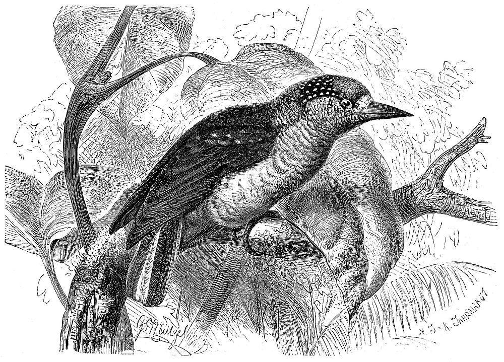 Хохлатый дятелок (Picummis cirrhatus)
