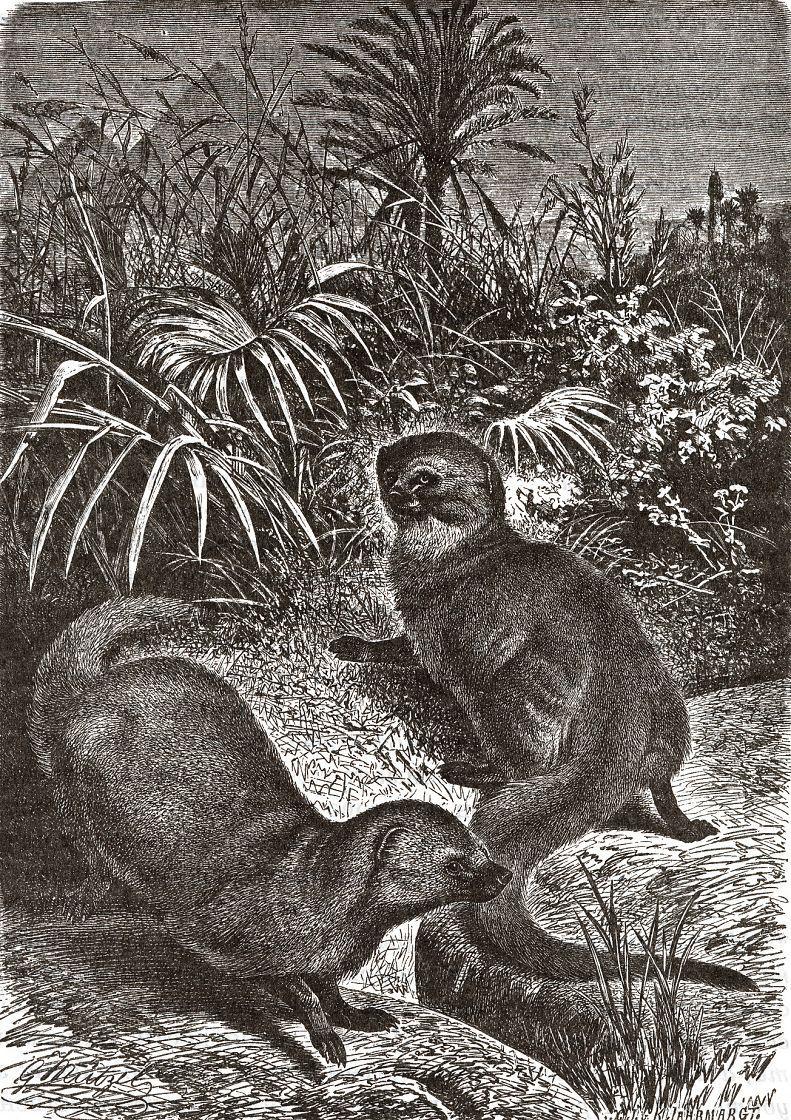 Ихневмон, или египетский мангуст, или фараонова крыса (Herpestes ichneumon)