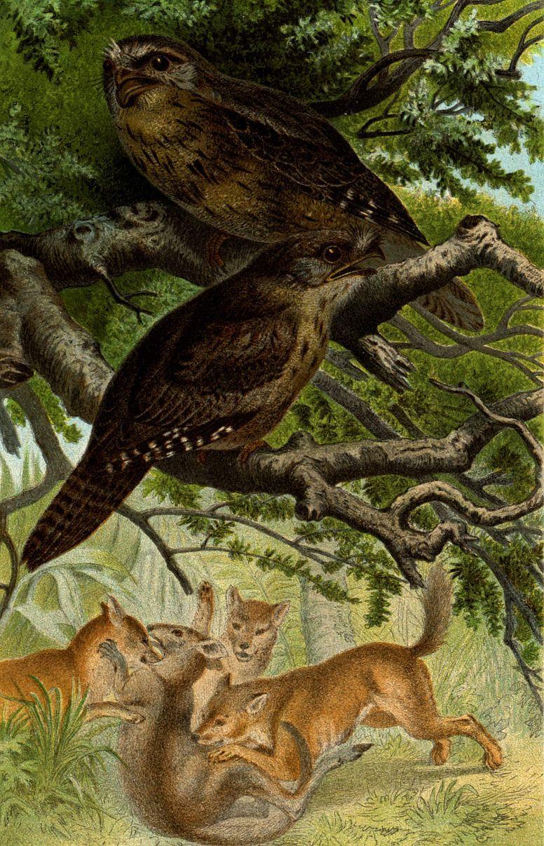 Исполинский белоног (Podargus strigoidesj)
