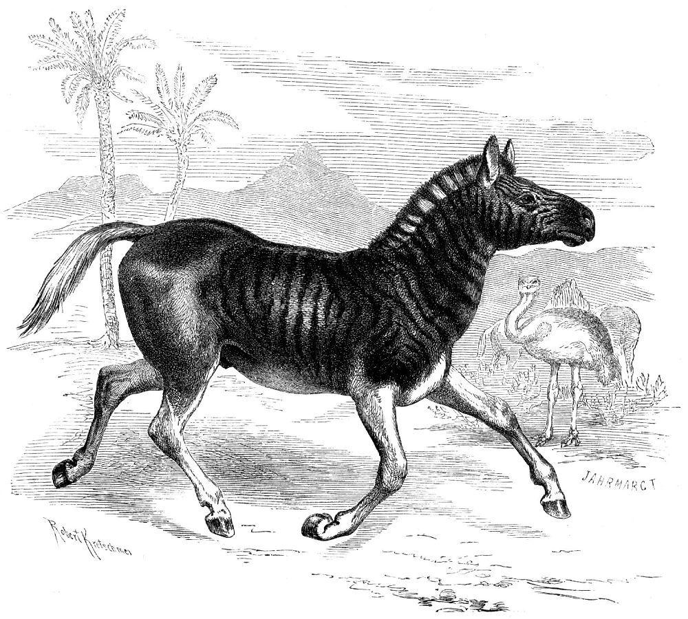 Квагга (Equus quagga)