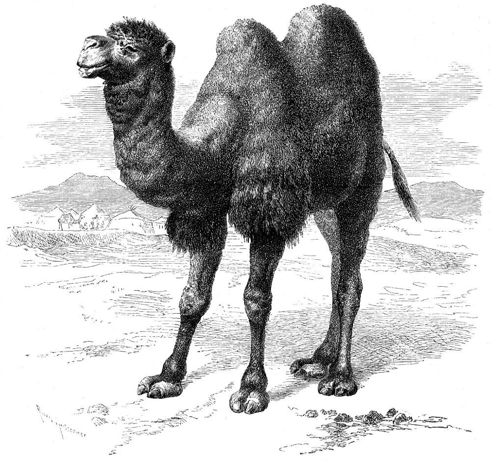 Двугорбый верблюд, или бактриан (Camelus bactrianus)
