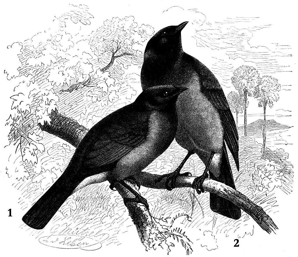 1 - Желтоспииный бюль-бюль (Pycnonotus xanthopygos) 2 - Бородатый бюль-бюль (Pycnonotus barbatus)