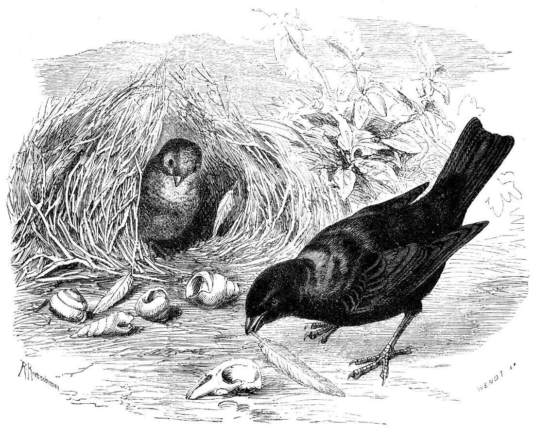 Атласный шалашник (Ptikmorhynchits violaceiis)