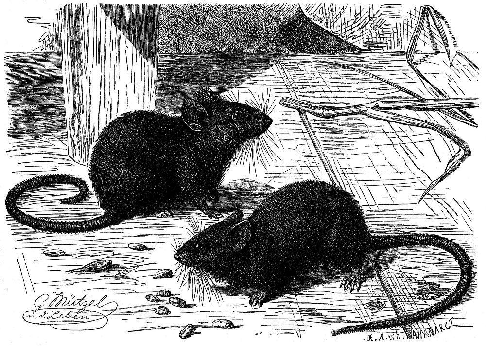 Домовая мышь (Mus musculus)