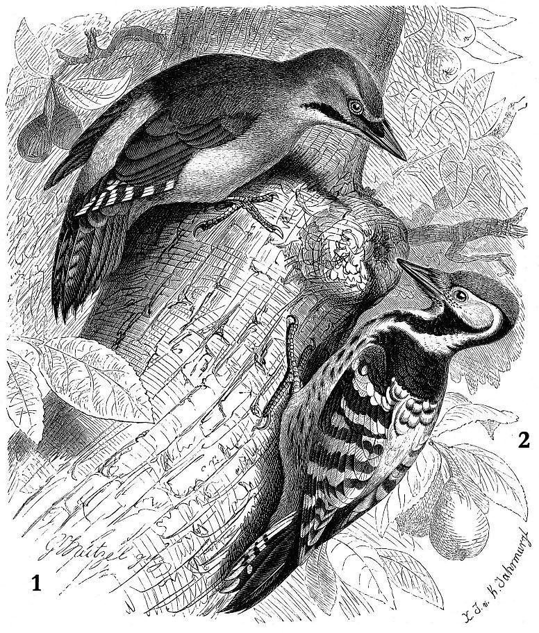 1 - Седой дятел (Picus canus) 2 - Белоспинный дятел (Dendrocopos leucotos)