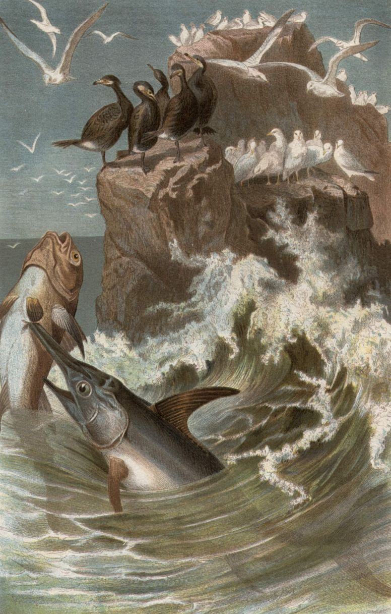 Меч-рыба (Xiphias gladius)
